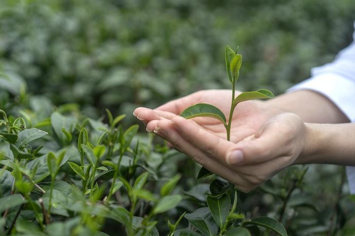 Prefira Chás de Boldo Orgânicos para Consumir Ervas Mais Naturais